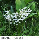 Купить «Ландыши», эксклюзивное фото № 1728558, снято 21 мая 2010 г. (c) Юрий Морозов / Фотобанк Лори