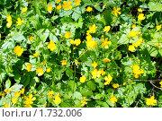 Купить «Цветение лютика (фон)», фото № 1732006, снято 21 мая 2010 г. (c) Качанов Владимир / Фотобанк Лори
