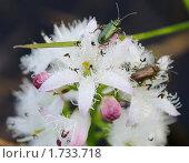 Жуки на болотных цветах. Стоковое фото, фотограф Владимир Соловьев / Фотобанк Лори