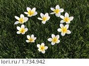 Сердце выложенное белыми цветами на зеленой траве. Стоковое фото, фотограф Хайруллина Ирина / Фотобанк Лори