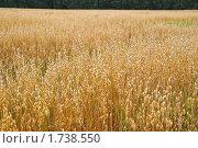 Купить «Поле с созревшим овсом», фото № 1738550, снято 22 августа 2009 г. (c) Алёшина Оксана / Фотобанк Лори