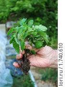 Купить «Рассада томатов в руке», фото № 1740610, снято 29 мая 2010 г. (c) Анна Мартынова / Фотобанк Лори