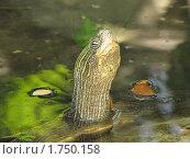 Голова черепахи. Стоковое фото, фотограф Сергей Тарасов / Фотобанк Лори