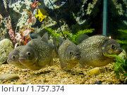 Пираньи в аквариуме. Стоковое фото, фотограф Екатерина Давыдова / Фотобанк Лори