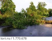 Поваленное ветром дерево. Стоковое фото, фотограф Качанов Владимир / Фотобанк Лори