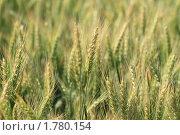 Купить «Молодая пшеница», фото № 1780154, снято 14 июня 2010 г. (c) Дарья Петренко / Фотобанк Лори