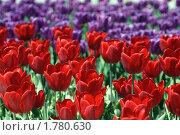 Купить «Цветущие тюльпаны», фото № 1780630, снято 21 апреля 2009 г. (c) Евгений Дробжев / Фотобанк Лори