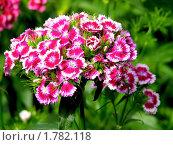 Купить «Соцветие  турецкой гвоздики (Dianthus barbatus)», фото № 1782118, снято 14 июня 2010 г. (c) Юлия  Лесина / Фотобанк Лори