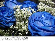 Синие розы. Стоковое фото, фотограф Ольга Анохина / Фотобанк Лори