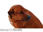 Родезийский риджбек на белом фоне. Стоковое фото, фотограф Струкова Светлана / Фотобанк Лори
