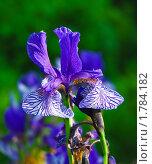 Купить «Ирис сибирский (Iris sibirica)», эксклюзивное фото № 1784182, снято 12 июня 2009 г. (c) Алёшина Оксана / Фотобанк Лори