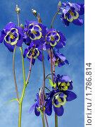 Купить «Аквилегия вееровидная», фото № 1786814, снято 19 июня 2010 г. (c) Ольга Остроухова / Фотобанк Лори