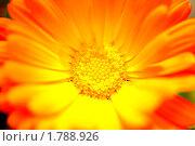 Цветок календулы. Стоковое фото, фотограф Татьяна Кахилл / Фотобанк Лори