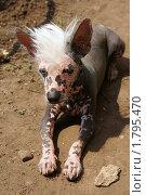 Грифон-страшная собачка. Стоковое фото, фотограф Екатерина Покотилова / Фотобанк Лори