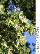 Купить «Цветение липы», фото № 1797598, снято 26 июня 2010 г. (c) Gagara / Фотобанк Лори