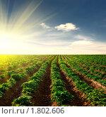 Картофельное поле. Стоковое фото, фотограф Анфимов Леонид / Фотобанк Лори