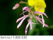 Розовый цветок. Стоковое фото, фотограф Фирсова Ольга / Фотобанк Лори