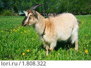 Портрет козла пасущегося на пастбище. Стоковое фото, фотограф Николай Винокуров / Фотобанк Лори