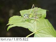 Купить «Большой зеленый кузнечик на листочке клёна», фото № 1815822, снято 3 июля 2010 г. (c) Александр Шилин / Фотобанк Лори