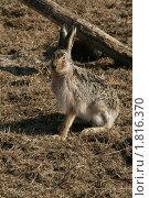 Купить «Заяц русак», фото № 1816370, снято 30 марта 2008 г. (c) Дмитрий Алимпиев / Фотобанк Лори