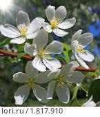 Купить «Цветущая ветка  яблони», фото № 1817910, снято 30 мая 2010 г. (c) Гер Олег / Фотобанк Лори