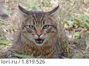Купить «Агрессивный сибирский кот», фото № 1819526, снято 26 июня 2010 г. (c) Минакова Татьяна / Фотобанк Лори