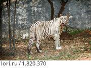 Купить «Белый тигр в лесу», фото № 1820370, снято 2 августа 2009 г. (c) Дмитрий Рухленко / Фотобанк Лори