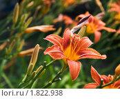 Оранжевый лилейник в саду. Стоковое фото, фотограф Анна Кондрашова / Фотобанк Лори