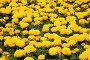 Желтые бархатцы, эксклюзивное фото № 1829190, снято 5 июля 2010 г. (c) Наталья Волкова / Фотобанк Лори