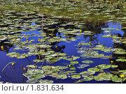 Цветущие кувшинки на воде. Стоковое фото, фотограф Струкова Светлана / Фотобанк Лори