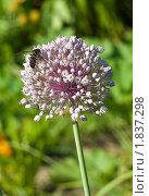 Цветок лука и пчела. Стоковое фото, фотограф Андрей Павлов / Фотобанк Лори