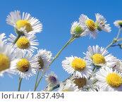Полевые цветы на фоне голубого неба. Стоковое фото, фотограф Багира / Фотобанк Лори