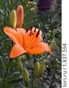 Оранжевый цветок лилии с каплями воды на лепестках. Стоковое фото, фотограф Валентин Никитин / Фотобанк Лори