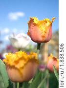 Тюльпаны. Стоковое фото, фотограф Оксана Сулоева / Фотобанк Лори