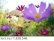 Садовые цветы. Стоковое фото, фотограф Оксана Сулоева / Фотобанк Лори