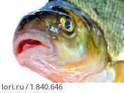 Рыба с открытым ртом на белом фоне. Стоковое фото, фотограф Dezel / Фотобанк Лори