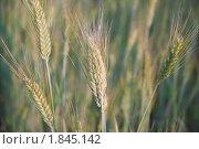 Купить «Рожь посевная (Secale cereale)», фото № 1845142, снято 5 июля 2010 г. (c) Алёшина Оксана / Фотобанк Лори
