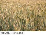 Купить «Рожь посевная (Secale cereale)», фото № 1845158, снято 5 июля 2010 г. (c) Алёшина Оксана / Фотобанк Лори