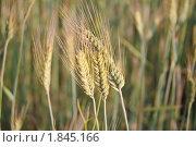 Купить «Рожь посевная (Secale cereale)», фото № 1845166, снято 5 июля 2010 г. (c) Алёшина Оксана / Фотобанк Лори