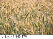 Купить «Рожь посевная (Secale cereale)», фото № 1845170, снято 5 июля 2010 г. (c) Алёшина Оксана / Фотобанк Лори
