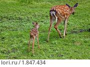 Купить «Олениха с олененком гуляют», фото № 1847434, снято 15 июля 2010 г. (c) Марина Михайлова / Фотобанк Лори