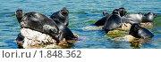 Купить «Байкальская нерпа», фото № 1848362, снято 20 июня 2010 г. (c) Александр Подшивалов / Фотобанк Лори