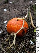 Тыква созревшая оранжевая на земле. Стоковое фото, фотограф Алексей Романов / Фотобанк Лори