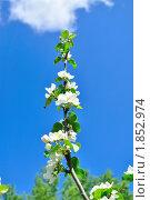 Ветка цветущей яблони. Стоковое фото, фотограф Dezel / Фотобанк Лори