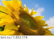 Купить «Подсолнечник однолетний на фоне неба», фото № 1853174, снято 1 июля 2010 г. (c) Бондаренко Олеся / Фотобанк Лори