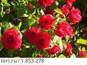 Купить «Куст красных роз», фото № 1853278, снято 16 июня 2009 г. (c) Максим Лоскутников / Фотобанк Лори