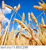 Купить «Золотистые колосья на фоне синего неба с облаками», фото № 1853298, снято 27 июня 2010 г. (c) Евгений Захаров / Фотобанк Лори
