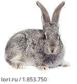 Купить «Кролик домашний», фото № 1853750, снято 6 мая 2010 г. (c) Василий Вишневский / Фотобанк Лори