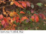 Осенние ягоды на ветке. Стоковое фото, фотограф Наталья Гребенюк / Фотобанк Лори