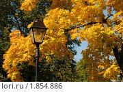 Золотые листья клёна. Стоковое фото, фотограф Наталья Гребенюк / Фотобанк Лори